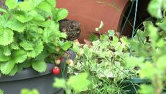 Young blackbird eats and steals strawberries Stock Footage