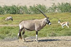Gemsbok or gemsbuck (oryx gazella) and springboks (antidorcas marsupialis), n Stock Photos