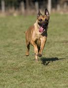 Malinous or belgian shepard dog running across lawn, vulkaneifel, germany, eu Kuvituskuvat