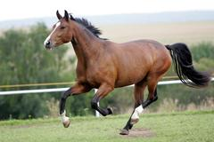 Heavy warmblood horse galloping Stock Photos