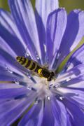Hoverfly (syrphidae) on common chicory (cichorium intybus), eichstaett, bavar Stock Photos
