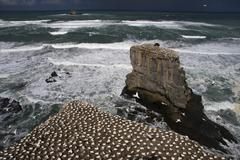 Australasian gannet or takapu (morus serrator) colony, muriwai beach, north i Stock Photos