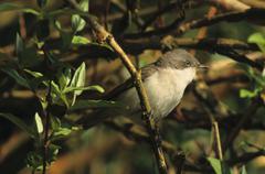 lesser whitethroat, sylvia curruca - stock photo