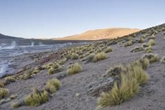Paja brava grasses, tatio geysers, región de antofagasta, chile, south ameri Kuvituskuvat