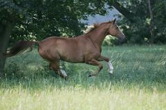 Warmblood mare, galloping Stock Photos