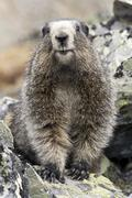hoary marmot, marmota caligata, tombstone mountains, tombstone territorial pa - stock photo