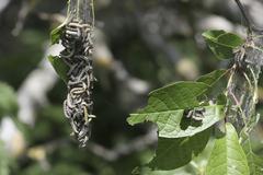 ermine moths (yponomeuta evonymella) - stock photo