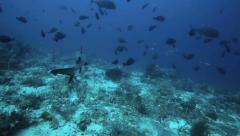 Whitetip reef shark swimming over coral reef POV Stock Footage