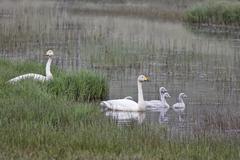 Whooper swan (cygnus cygnus) family, southern coast of iceland, atlantic ocea Stock Photos