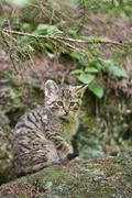 European wildcat (felis silvestris), cup, bavarian forest Stock Photos