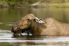 Moose, elk cow (alces alces) feeding on aquatic plants in deep water, big sal Stock Photos