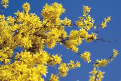 Stock Photo of forsythia shrub (forsythia)