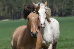 Draught horse (or draft horse) and appaloosa Stock Photos