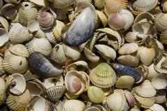 blue mussels (mytilus), cockle shells (cardiidae) - stock photo
