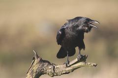 Common or northern raven (corvus corax), mating call Kuvituskuvat