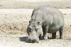 Hippopotamus, hippo (hippopotamus amphibius) in the dry riverbed, boteti rive Stock Photos