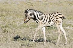 Stock Photo of young plains zebra, common zebra, (equus quagga burchelli) etosha national pa