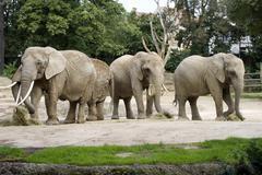 Elephants, loxodonta africana, zoo of basel, switzerland, europe Stock Photos
