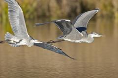 Stock Photo of grey heron (ardea cinerea)