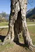 hallowed maple tree, tirol, austria, europe - stock photo