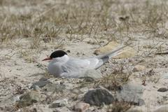 Arctic tern (sterna paradisaea), northern norway, europe Stock Photos