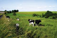 cows on a pasture, german holsteins - stock photo