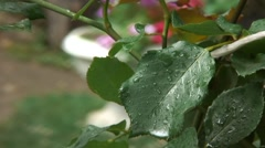 Leaf of rose in the rain Stock Footage