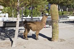Tame lama, toconao, región de antofagasta, chile, south america Stock Photos