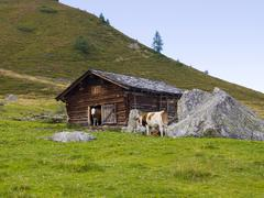 Cow looking out of farm shed, karlalm alpine pasture (uncultivated), grossarl Stock Photos