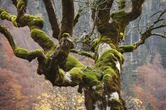 old maple with moss, ahornboden, engtal, karwendel mountains, tyrol, austria - stock photo