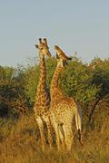 giraffes ( giraffa camelopardials) in the st. lucia wetland, phinda private g - stock photo