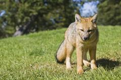 Stock Photo of chilla or grey zorro or south american grey fox (pseudalopex griseus), nation