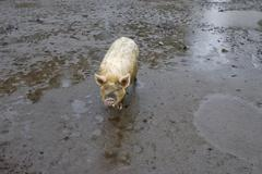 Domestic pig (sus scrofa domestica) in the mud on a farm near lago todos los  Kuvituskuvat