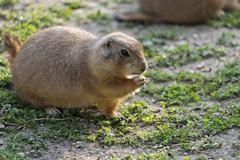 Stock Photo of black-tailed prairie dog (cynomis ludovicianus), schoenbrunn zoo, vienna, aus