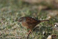 Stock Photo of hedge sparrow (prunella modularis)