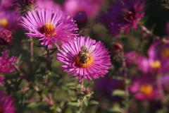 western - or european honey bee (apis mellifera) perched on aster (asteraceae - stock photo