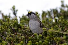 golden-crowned sparrow (zonotrichia atricapilla) with insects in its beak, ch - stock photo