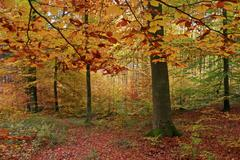 Stock Photo of autumnally coloured beech groove, (fagus silvatica), westerwald, hesse, germa