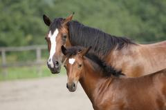 Stock Photo of mare with foal