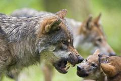 Stock Photo of european wolf (canis lupus lupus) with pup, puppy, wildpark poing wildlife pa