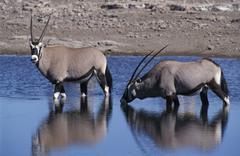 Oryx antelopes (gemsbock, oryx gazella), etosha national park, namibia Stock Photos