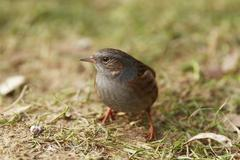 Stock Photo of dunnock or hedge sparrow or hedge warbler (prunella modularis)
