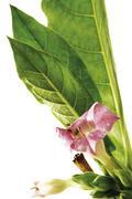Tobacco plant (nicotiana), flower Kuvituskuvat