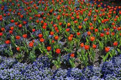 Stock Photo of tulip flowerbed, austria, europe