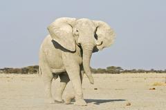 african elephant (loxodonta africana) attack, nxai pan, makgadikgadi pans nat - stock photo