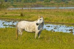 white horse in camargue, provence-alpes-cote d\'azur, france - stock photo