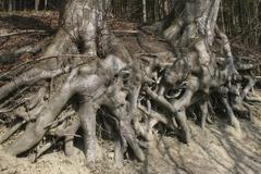 exposed roots of a european- or common beech (fagus sylvatica) - stock photo
