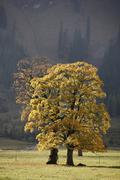 Stock Photo of maples, ahornboden, engtal, karwendel mountains, tyrol, austria