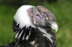 juvenile andean condor, vultur gryphus, - stock photo