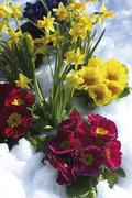Stock Photo of primroses (primula) and daffodils (narcissus) in the snow